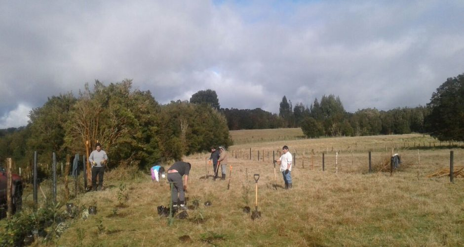 Quemchi: plantan árboles nativos en isla Caucahue para la conservación de Agua.